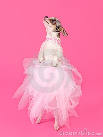 Elegant dog dancing isolated