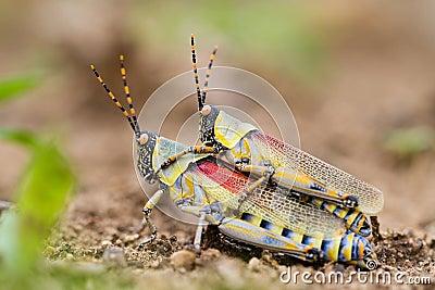 Elegant grasshoppers