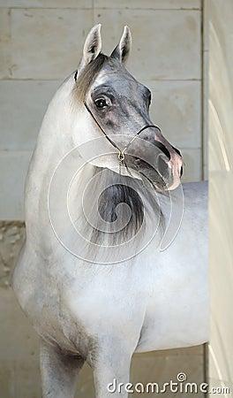 Elegant gray arabian horse