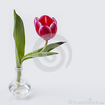 Elegant rembrandt-tulip