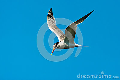 Elegant Tern Royalty Free Stock Images - Image: 25932469
