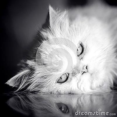 Free Elegant White Cat Stock Images - 15310434