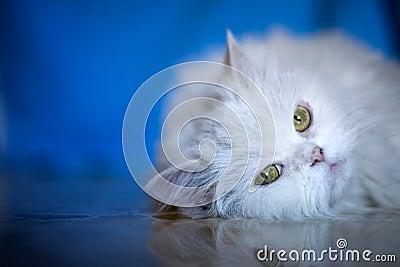 Elegant white cat
