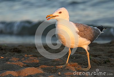 Elegant white Seagull on the shore of the beach