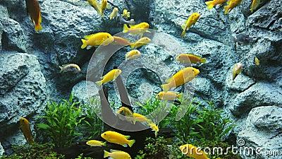 Elektrisch gelber Cichlid Labidochromis caeruleus oder Zitronengelb Labor der blaue Streak hap in Aquarium, 4K stock video