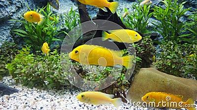 Elektrisch gelber Cichlid Labidochromis caeruleus oder Zitronengelb Labor der blaue Streak hap in Aquarium, 4K stock footage