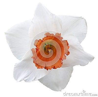 Elemento do projeto do daffodil