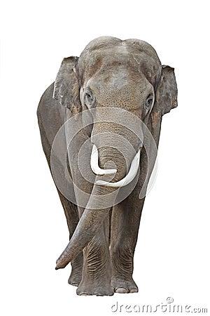 Free Elephant 1 Stock Photos - 14839843