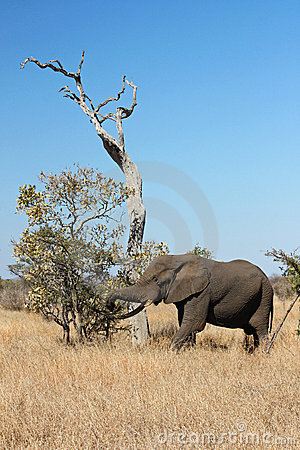 Free Elephant Stock Photos - 10822513