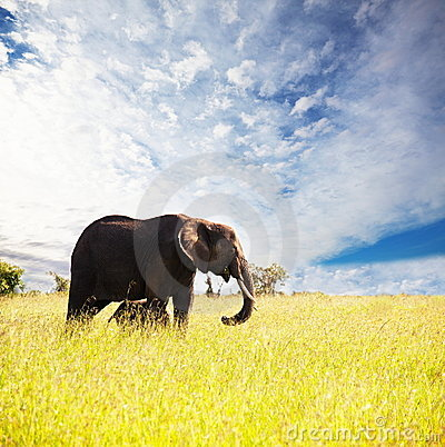 Free Elephant Royalty Free Stock Photography - 13224727