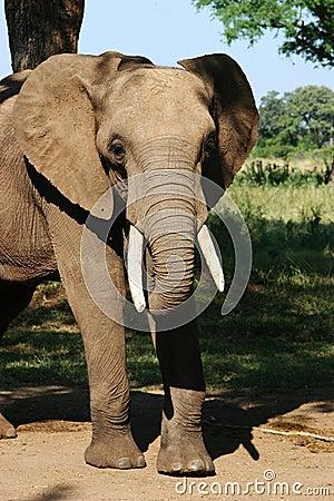 Free Elephant Stock Images - 224924