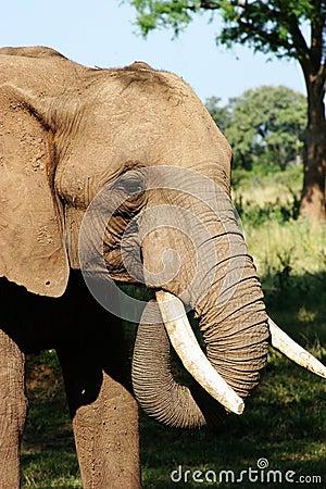 Free Elephant Royalty Free Stock Image - 224946