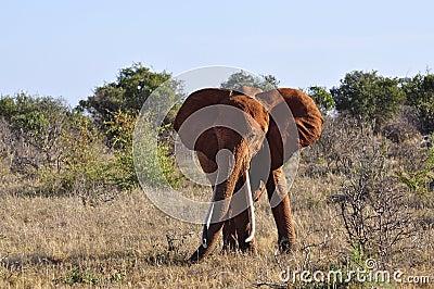 Elephant Africa