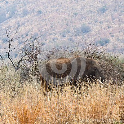 Elephant amongst the long grass.