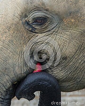 Elephant - Apple a Day Keeps the Vet Away