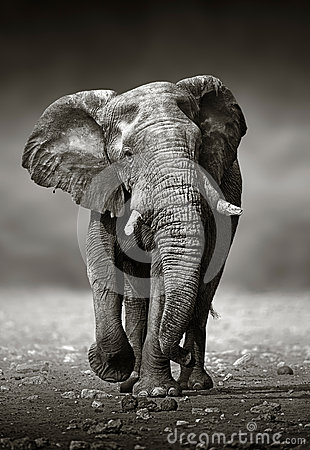 Free Elephant Approach From The Front Stock Images - 54385064