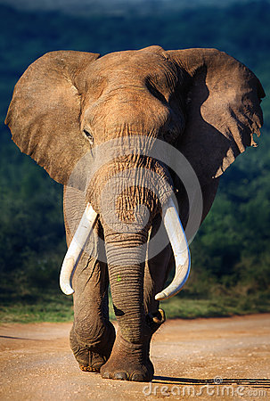 Free Elephant Approaching Royalty Free Stock Images - 30199779