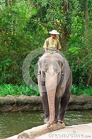 Elephant Balancing on Log Editorial Stock Image