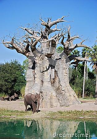 Elephant and Baobab Tree