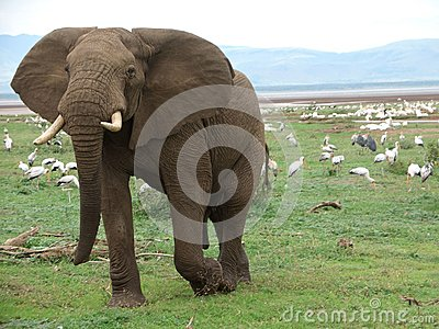 Elephant and birds in Africa