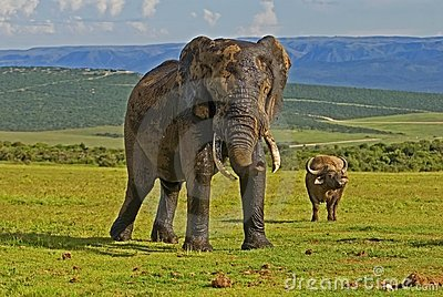 Elephant & Buffalo at Addo Park
