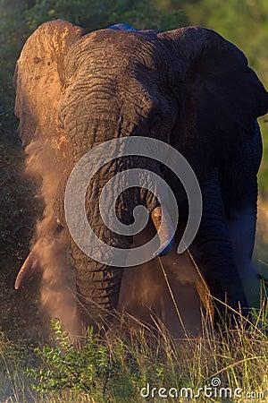 Elephant Bull Dusting