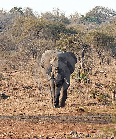 Elephant bull with large tusks approaching