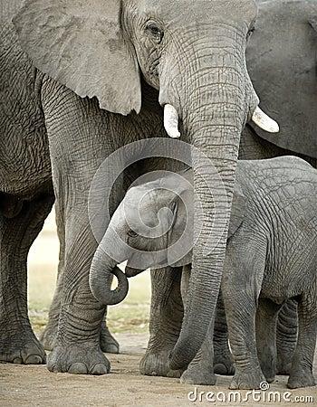 Free Elephant Calf Royalty Free Stock Image - 6074046