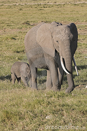 Elephant with calf in Amboseli National Reserve