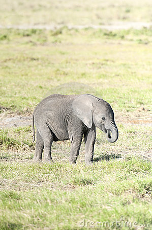 Elephant calf feeding by plucking grass
