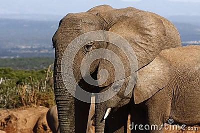 Elephant calf hiding