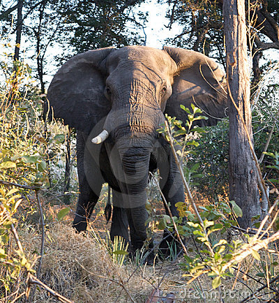 Elephant charging in jungle