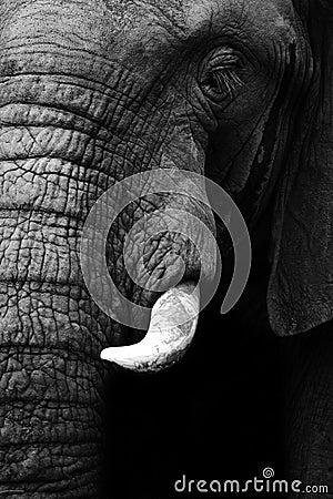 Free Elephant Close Up Royalty Free Stock Image - 27400046