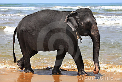 The elephant at coast of ocean