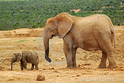 Elephant cow with baby