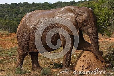 Elephant cow posing.