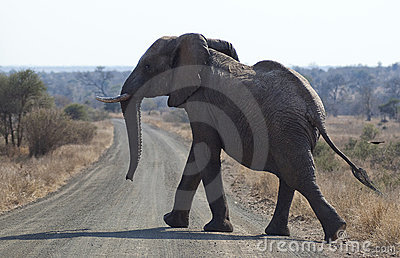 Elephant is crossing a road