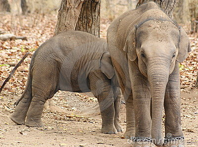 Elephant cubs at play