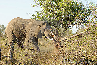 Elephant destroying tree