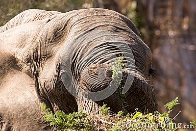 Elephant dinner