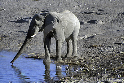 Elephant drinking at water hole,