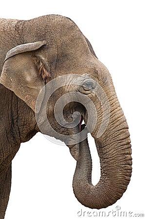 Free Elephant Eating Isolated Royalty Free Stock Photo - 51432295