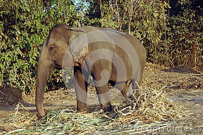 Elephant Eats Hay. Stock Images - Image: 9694024
