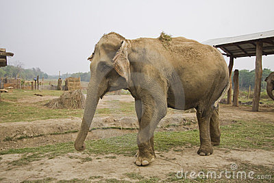 Elephant at the elephant breeding center chitwan