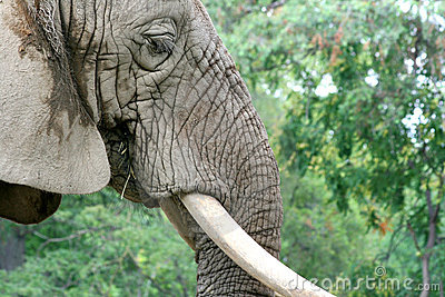 Elephant Face Close Up