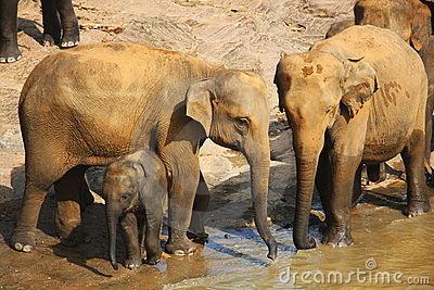 Elephant family with baby at the bank of the river