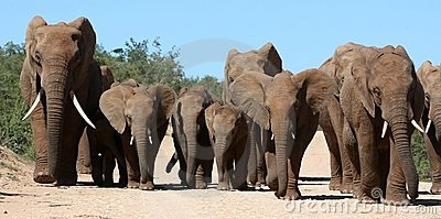Elephant Family Herd