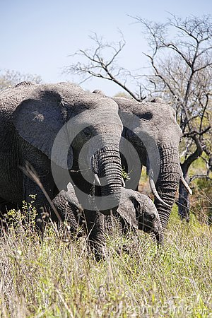 Free Elephant Family In African Bush. Stock Images - 132340344