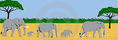 Elephant family panorama