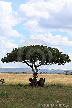 Elephant family under umbrella acacia